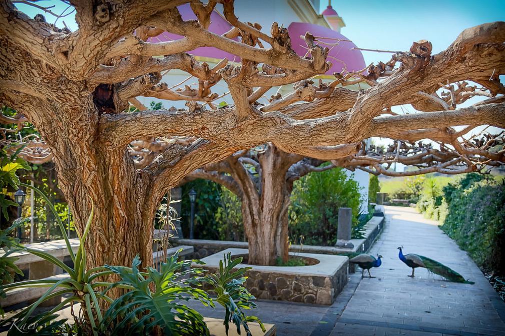 Сад с павлинами - Блог про Израиль
