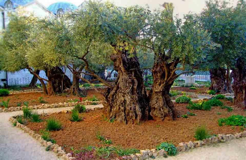 Деревья у которых молился Иисус - Блог про Израиль